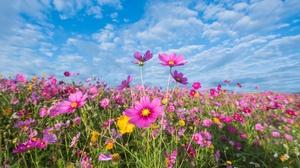 Cosmos Flower Nature Pink Flower Summer 6016x4016 Wallpaper