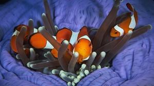 Clownfish Fish Sea Life 2000x1333 Wallpaper