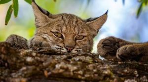 Lynx Cats Animals Mammals Feline Big Cats Nature 2048x1365 Wallpaper