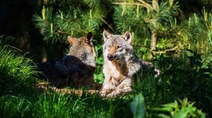 Wildlife Wolf Predator Animal 2880x1620 Wallpaper
