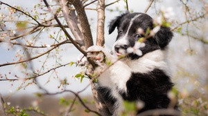 Baby Animal Border Collie Dog Pet Puppy 2048x1366 Wallpaper