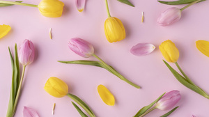Tulip 2560x1707 Wallpaper