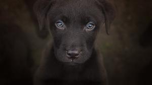 Baby Animal Dog Labrador Retriever Pet Puppy Stare 2048x1439 Wallpaper