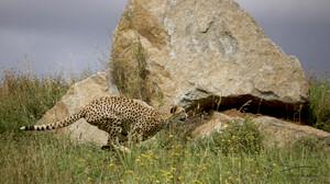 Wildlife Cheetah Nature Feline Big Cats Mammals 4096x2373 Wallpaper