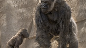 Animal Baby Animal Gorilla 1920x1200 Wallpaper