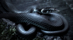 Snake Animals Reptile Nature Black 1280x852 Wallpaper