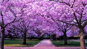 Blossom Park Path Sakura Spring 3840x2560 Wallpaper