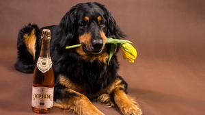 Alcohol Dog Pet 3450x2520 Wallpaper