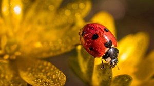 Beetle Flower Ladybug Macro Water Drop 3840x2160 Wallpaper