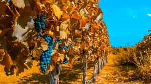 Fall Grapes Vineyard 4250x3000 Wallpaper