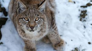 Animal Lynx 3000x2000 Wallpaper