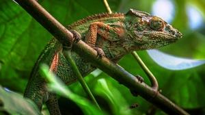 Chameleon Lizard Reptile Wildlife 2048x1365 Wallpaper