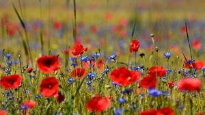Flower Meadow Poppy Red Flower Summer 2048x1365 Wallpaper