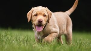 Baby Animal Dog Golden Retriever Pet Puppy 2048x1365 Wallpaper