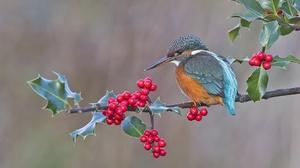 Berry Bird Branch Wildlife 2048x1365 Wallpaper