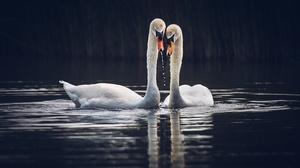 Bird Mute Swan Swan Wildlife 3072x1928 Wallpaper