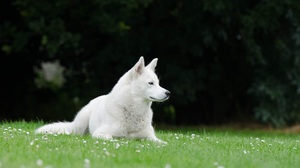 Dog Husky Pet 4928x3264 Wallpaper