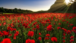 Field Flower Nature Poppy Red Flower Summer Sunbeam 2048x1366 Wallpaper
