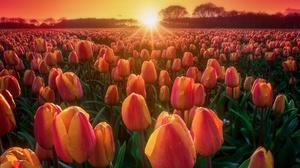 Field Flower Nature Summer Sun Sunrise Tulip 5774x3849 Wallpaper