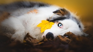 Australian Shepherd Dog Fall Leaf Pet 2048x1367 Wallpaper