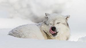 Snow Wildlife Winter Wolf Predator Animal 2048x1339 Wallpaper