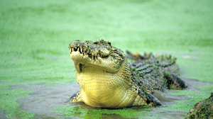 Animal Crocodile 2560x1600 Wallpaper