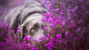 Blur Dog Flower Labrador Pet Purple Flower 1920x1147 Wallpaper
