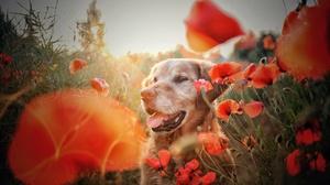 Dog Flower Golden Retriever Pet Poppy Red Flower Summer 2048x1363 Wallpaper