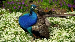 Bird Colorful Flower Peacock 3024x1701 wallpaper