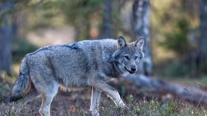 Wildlife Wolf Predator Animal 5568x3712 Wallpaper