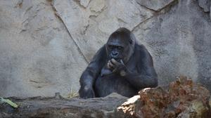 Ape Gorilla Zoo 1920x1080 Wallpaper