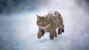 Cats Snow Winter Ice Cold Animals Mammals Blue Eyes Feline Nature 2048x1366 Wallpaper