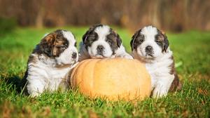 Dog Puppy Pumpkin 2560x1600 Wallpaper