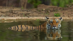 Big Cat Tiger Wildlife Predator Animal 2047x1152 Wallpaper