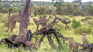 Baby Animal Big Cat Cheetah Cub Wildlife Predator Animal 2048x1365 Wallpaper