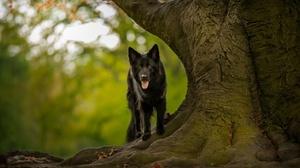 Dog German Shepherd Pet 2047x1266 wallpaper