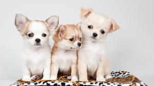 Animal Puppy 4786x2879 Wallpaper