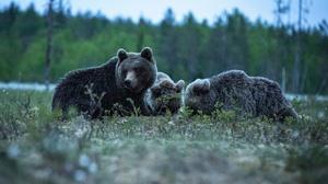 Bear Wildlife Predator Animal 3200x2000 Wallpaper