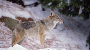 Animal Wolf 2560x1600 wallpaper