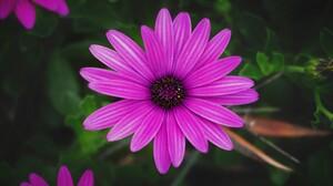 Daisy Flower Purple Flower 3840x2400 Wallpaper