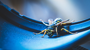 Wasps Macro Insect Animals Nature Depth Of Field 1717x966 Wallpaper