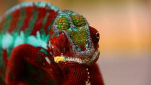 Chameleon Colorful Lizard Reptile Wildlife 2560x1714 Wallpaper