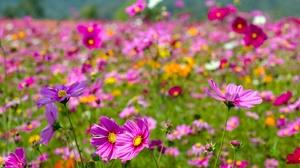 Cosmos Flower Nature Purple Flower Summer 5184x3456 Wallpaper