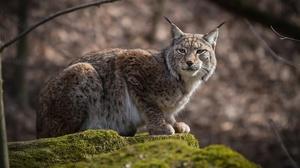 Big Cat Lynx Wildlife Predator Animal 1920x1197 Wallpaper