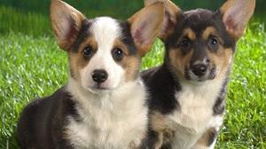 Corgi Cute Dog Puppy 1600x1200 Wallpaper
