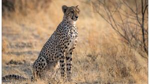 Wildlife Cheetah Nature Feline Big Cats Mammals 4096x2762 Wallpaper