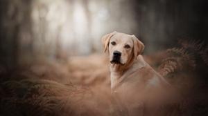 Dog Labrador Retriever Pet 5162x3446 Wallpaper