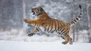 Big Cat Snow Snowfall Tiger Wildlife Winter Predator Animal 2500x1667 Wallpaper