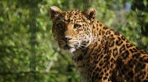 Big Cat Leopard Wildlife Predator Animal 3840x2160 wallpaper