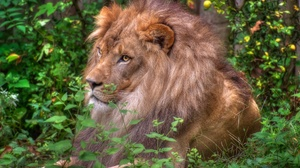Big Cat Lion Wildlife Predator Animal 2048x1363 wallpaper
